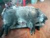 三明打猎机厂家超声波电打野猪机