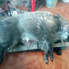 郴州交直流两用捕猎野猪机器荣誉出品图片