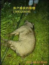 龙岩正规捕猎野猪机器价格厂家促销图片