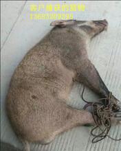 湘潭交直流两用捕猎野猪机器加工定做图片