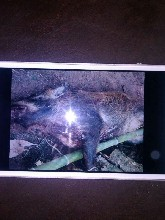 沧州新型捕猎野猪机图片