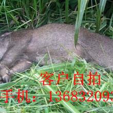 淮北电瓶捕猎野猪机加强机头图片