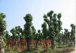 供应20--80公分不同规格香樟树