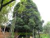 丛生桂花树