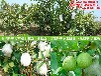 番石榴苗哪买比较好,番石榴苗广东价格多少