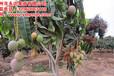 如果想种植芒果苗哪里购买比较好,芒果苗最新价格多少