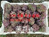 茉莉香葡萄苗,一级茉莉香葡萄苗,10个以上成熟芽,吉林葡萄苗