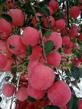 遼寧省蘋果產地代辦(主營寒付士)遼寧蘋果代收代辦