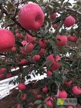 遼寧省大連市蘋果代收遼寧省產地蘋果代辦圖片