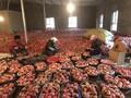 新疆阿克苏冰糖心苹果批发(非套袋果)图片