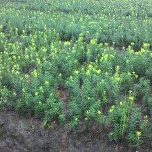 四川省平武县珍惜植物之(曼地亚红豆杉苗)种植基地收购价格图片