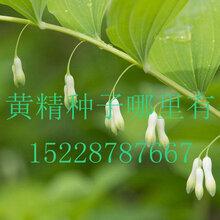 四川省绵阳市三台县黄精种苗哪家好哪里有黄精种植基地图片