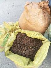 大黃種子什么時候種植播種最好?圖片