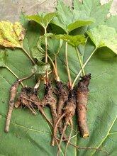 甘孜州乡城县大黄种苗今日价格图片