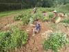 內江市黃精種植種植成本