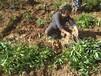 攀枝花市黃精種子畝產量
