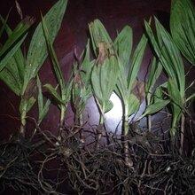 泸州市黄精种苗收益图片