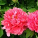品种—宝楼台又叫胡红红色花系皇冠型品种齐全规格多样批发价格