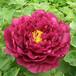 牡丹花盆栽花卉紫云牡丹基地自产自销牡丹苗品种多规格齐价格优批发