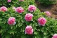 贵妃插翠盆栽庭院地栽牡丹花苗品质保证品种齐全量大从优批发价格