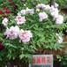粉面桃花花深粉红色种植基地品种齐全大量批发价格规格
