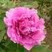 富贵满堂优质牡丹庭院室内盆栽牡丹花苗花卉批发价格规格齐全品质保证