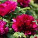 出售精品牡丹墨楼争辉十大名花之一花中之王牡丹花苗批发价格