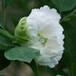 昆山夜光精品牡丹花苗花卉绿植盆栽阳台庭院盆栽品种齐全规格价格批发
