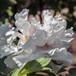 芳纪纯正牡丹花苗可盆栽鲜艳花色最红基地种植供应批发价格