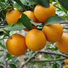 时令水果包邮新鲜绿色无公害水果10斤装廉江红橙(廉江生活圈)