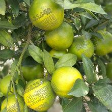 时令水果省外包邮新鲜绿色无公害水果10斤装廉江红橙廉江生活圈