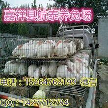 湖南獭兔价格持续上涨,2018年新獭兔下来会不会跌?