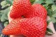 草莓专用肥料地福来生物肥可提高草莓甜度口感产量