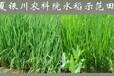 水稻旱育秧栽培技术地福来生物肥展风采