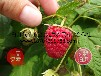大量供应大果双季红树莓苗