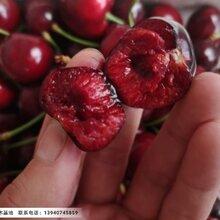 俄罗斯8号樱桃苗,俄罗斯八号樱桃苗价格图片