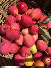 2年生鸡心苹果苗,辽宁鸡心果苹果苗适合哪里种植图片