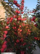 辽宁鸡心果苹果苗适合哪里种植图片