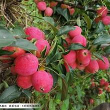 吉林鸡心果苹果苗,鸡心果适合哪里种植图片
