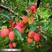 辽宁乔化鸡心果树苗,矮化鸡心果树的栽培方法图片