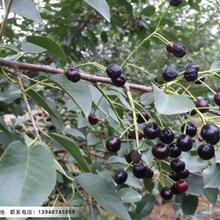 辽宁马哈利樱桃种子,马哈利种子多少钱一斤图片