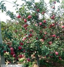 辽宁寒富苹果苗,出售寒富苹果苗图片