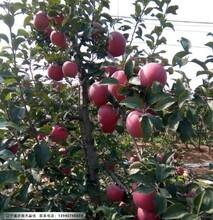 辽宁3公分寒富苹果苗价格图片
