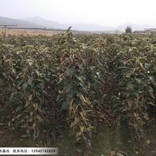 辽宁3公分寒富士苹果苗成活率好图片