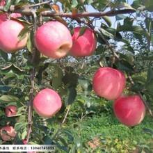 辽宁寒富苹果苗,寒富苹果苗价格图片