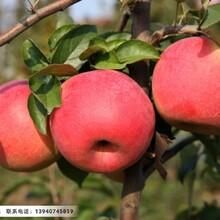 乔化寒富苹果树苗,辽宁二公分乔化寒富苹果树苗图片
