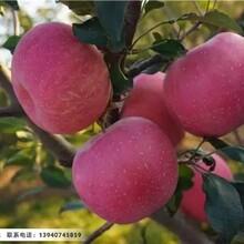 2公分寒富苹果苗,辽宁纯正2公分寒富苹果苗图片