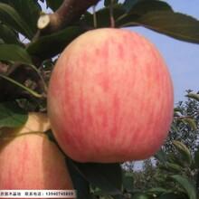 三公分寒富苹果苗,辽宁哪里有3公分寒富苹果苗图片