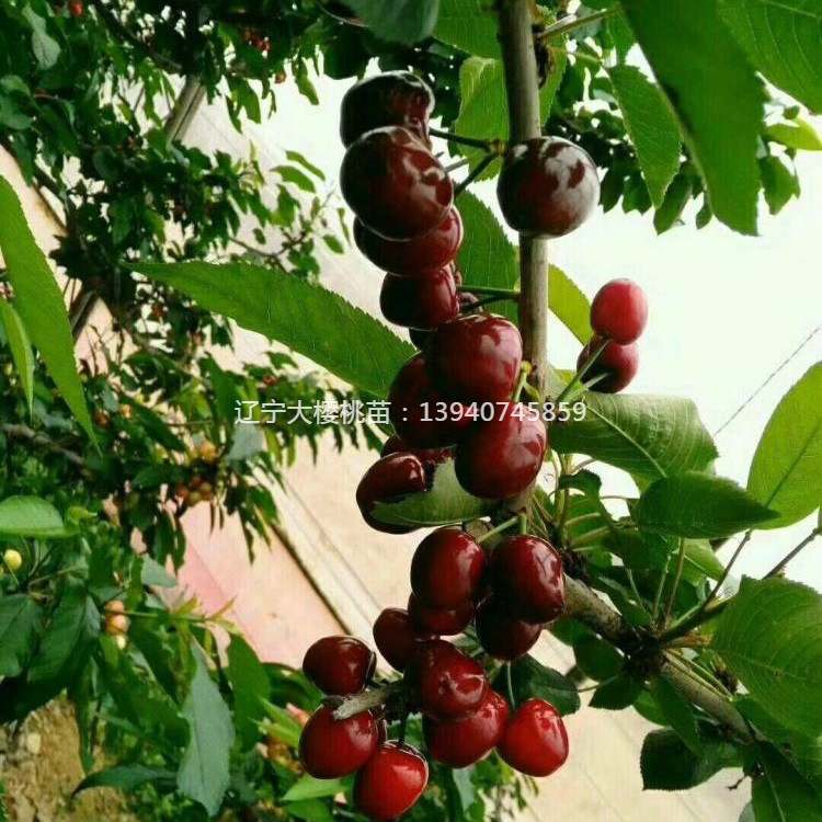 俄罗斯8号樱桃苗 我想买萨米豆樱桃苗