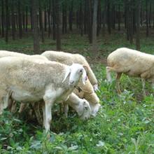 供应牧草种子国标-波尔山羊